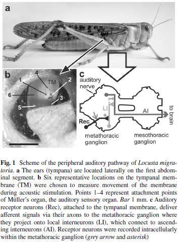 Eberhard MJB*, Gordon SD*, Windmill JFC, Ronacher B.  2014. Temperature effects on the tympanal membrane and auditory receptor neurons in the locust. Journal of Comparative Physiology A.  200:837-847 * These authors contributed equally