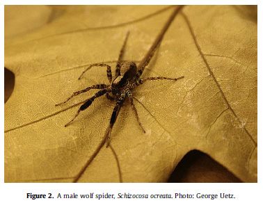 Lohrey AK, Clark DL, Gordon SD, Uetz GW.  2009.  Anti-predator responses of wolf spiders (Araneae:  Lycosidae) to sensory cues representing an avian predator.  Animal Behaviour.  77:813-821.