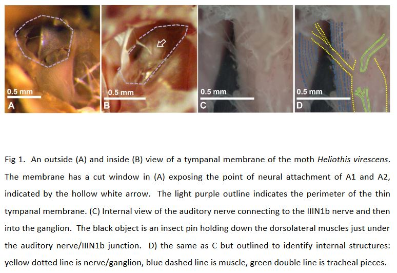 Gordon SD, Klenschi E, Windmill JFC.  2017.  Hearing on the fly: the effects of wing position on noctuid moth hearing.  Journal of Experimental Biology