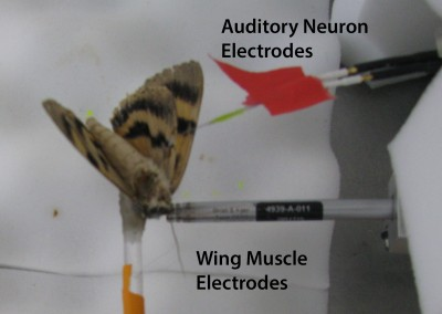 Gordon SD. ter Hofstede HM.  2018.  The influence of bat echolocation call duration and timing on auditory encoding of predator distance in noctuoid moths. The Journal of Experimental Biology