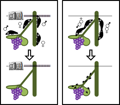 Krugner R, Gordon SD.  2018.  Mating disruption of Homalodisca vitripennis (Germar) (Hemiptera: Cicadellidae) by playback of vibrational signals in vineyard trellis.  Journal of Pest Management Science.