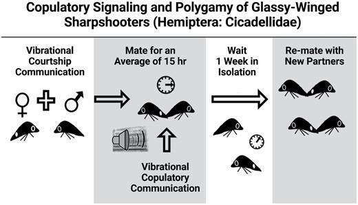 Gordon and Krugner 2021. Copulatory Signaling and Polygamy of Glassy-Winged Sharpshooters (Hemiptera: Cicadellidae)